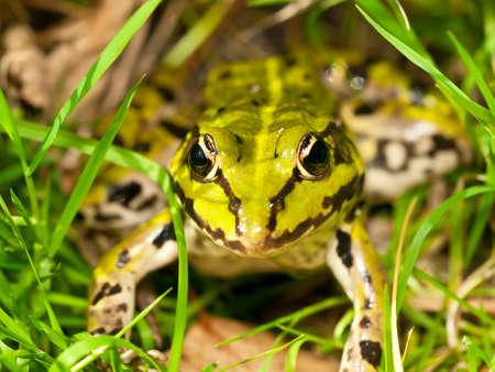 Edible Frog (Pelophylax esculentus) in grass in Poland.