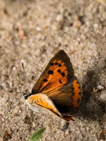Large Copper (Lycaena dispar) female shoot in Poland.