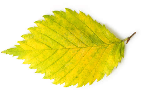 Lime leaf on white. This file is cleaned, retouched, contains clipping path and is ready to use.