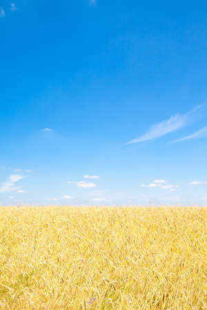 Shot of wheat with blue sky. This file is cleaned and retouched.