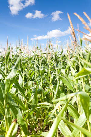 Shot of corn field with blue sky. Focus on corn, sky is blurred. This file is cleaned and retouched. Stok Fotoğraf