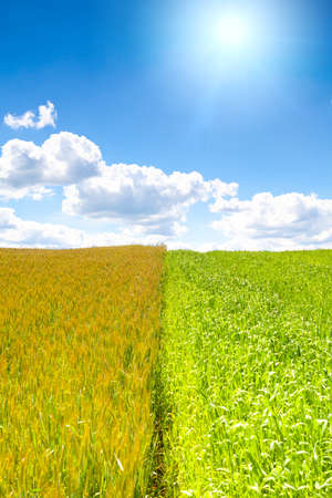 Shot of wheat field with sun on blue sky. This file is cleaned and retouched.