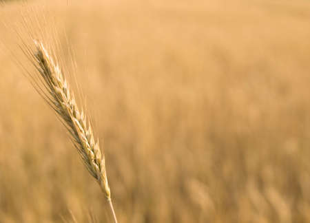 close up of a young ear of wheat 版權商用圖片