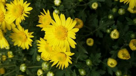 close up: Close up to yellow chrysanthemum