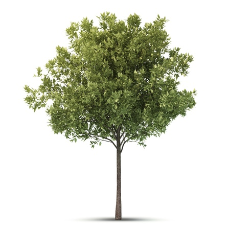 Hi resolution beatiful tree  Isolated image  Stock Photo