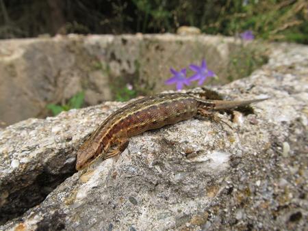 Lizard basking on a rock