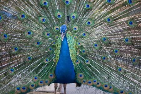 blue peafowl showing his blue spots,
