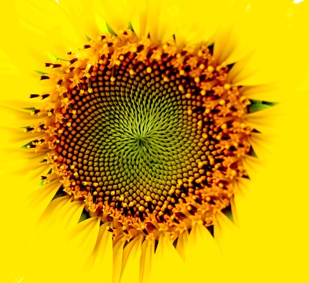 a yellow sun flower make vary dimensions
