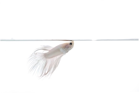 white beta fish photo