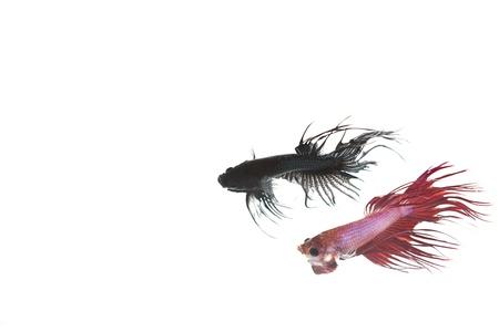 battle of betta fish Stock Photo - 14781256
