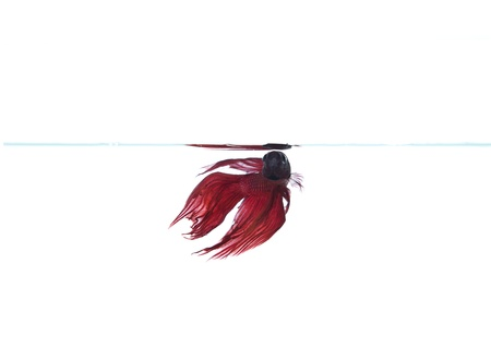 red betta fish breathing photo