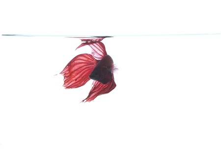 red betta fish Stock Photo - 14781253