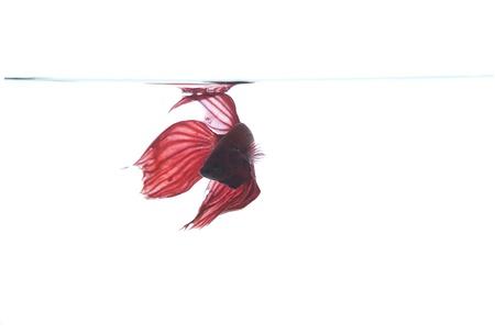red betta fish photo