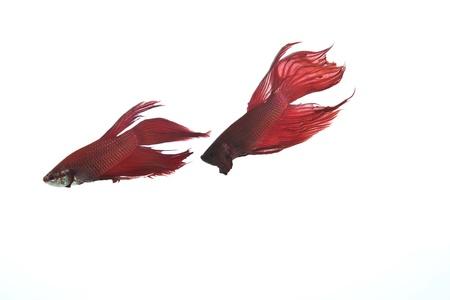 two red betta fish photo