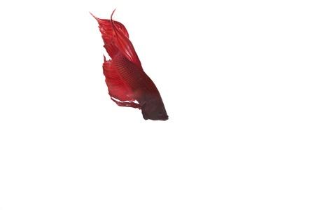 red betta fish preparing to fight Stock Photo - 14781250