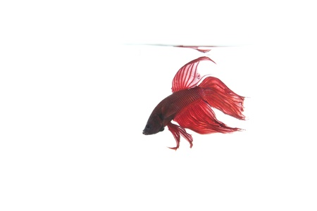 betta fish monitoring his area Stock Photo