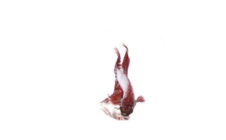 red betta fish Stock Photo - 17751424