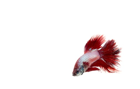 red betta fish Stock Photo - 17751391