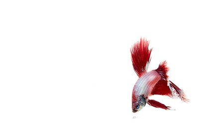 red betta fish Stock Photo - 17751390