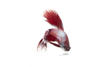 betta fish Stock Photo - 17751393