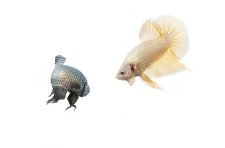 two beta fish