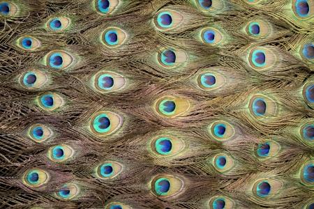 peafowl photo