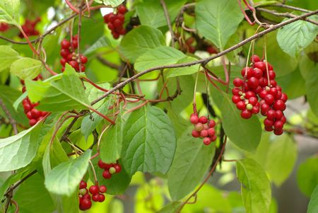 Brunches of red berries with green leaf