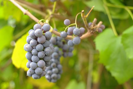 Bunch of Wine Grapes in summer