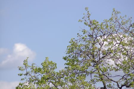 Tree with young leaves against the blue sky Stock Photo