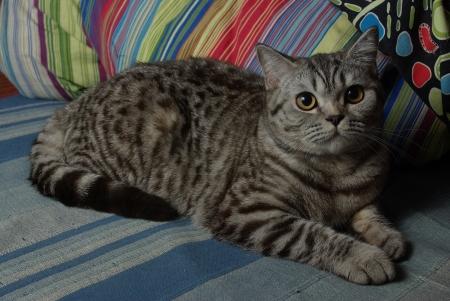 gray tabby: Gray tabby cat Stock Photo