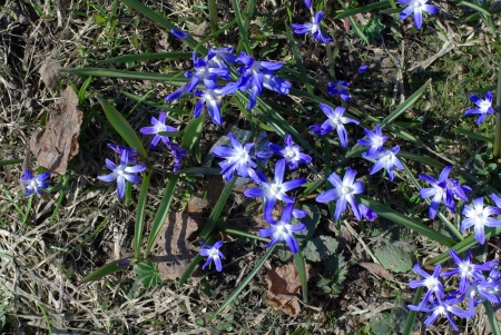 Blue spring flowers on the meadow