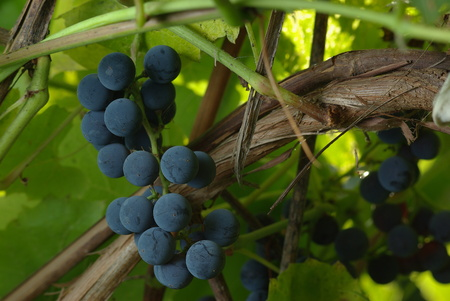 Bunch of wine grapes in vineyard