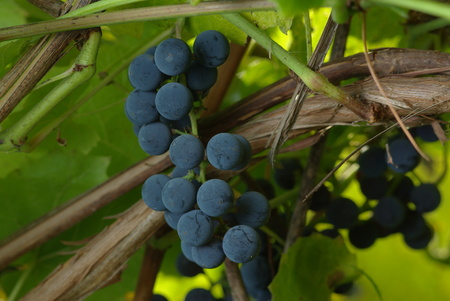 Bunch of wine grapes