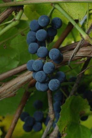 Bunch of wine grape in vineyard Stock Photo