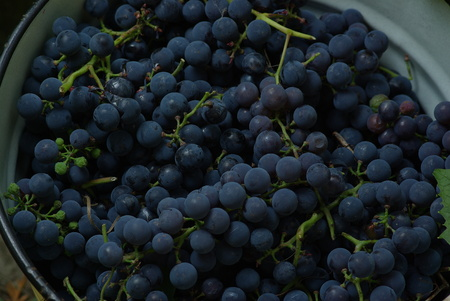 Blue wine grapes in bucket Stock Photo