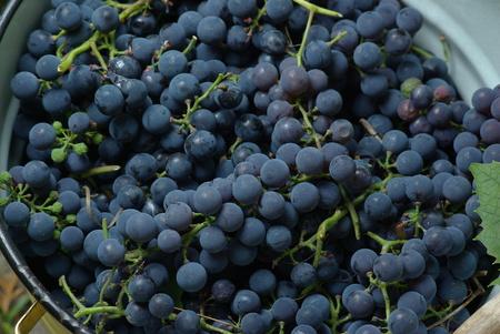 Wine Grapes in bucket