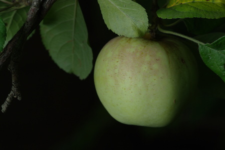 Green apple on black with leaves
