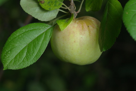 Green apple on branch with leaves Stock Photo