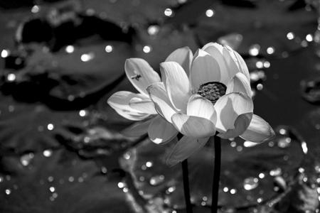 aquatic herb: flowers