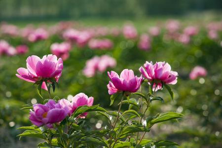Flower blooming Banco de Imagens - 80326208