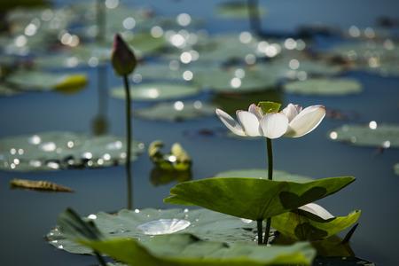 lotus pond Stock fotó