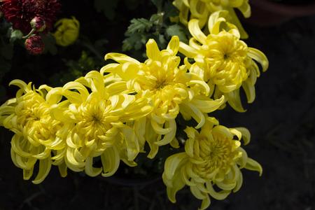 chrysanthemum Фото со стока