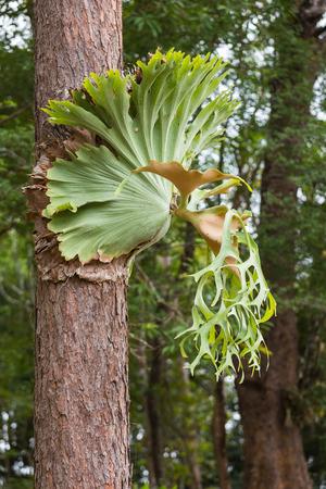 staghorn: Platycerium ferns.