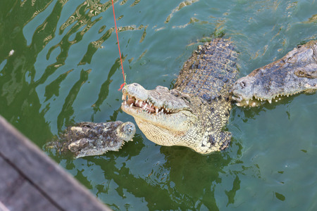 Head of a crocodile in the water