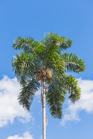 A betel palm on the blue sky.