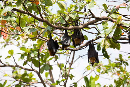 pteropus: Flying foxes hanging on a tree.
