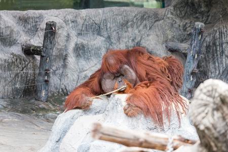 hominid: Orangutan lie on the rock.