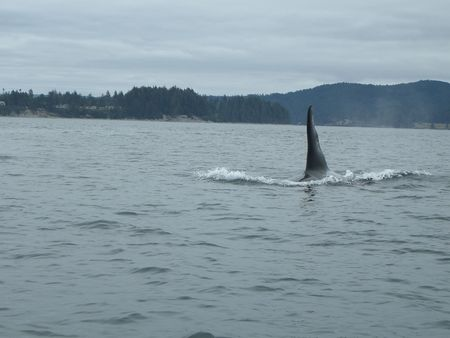 Orca Whale near Vancouver Island Stock Photo - 5230778