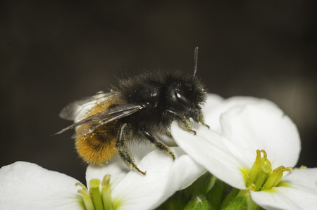 bee on the white flower with blur background, macro photo in spring