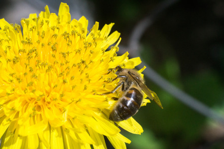 bee on the yellow flower in sunny day of spring Stock Photo